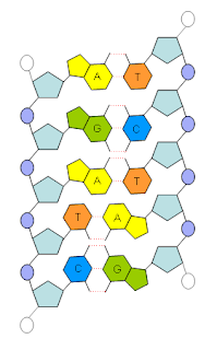 dna molekyl uppbyggd