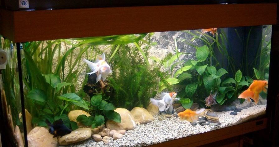 S C V Aquascaping Ideas Creating A Fancy Goldfish Setup
