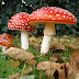 Nederlands Ban On Magic Mushrooms 'Highly' Unlikely