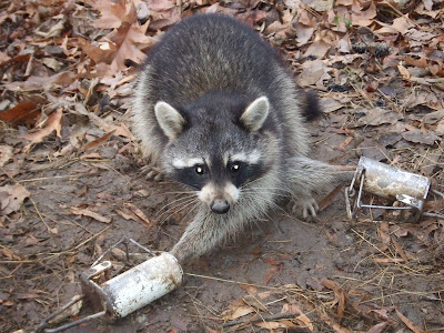 Can Raccoon Dogs Chew Chicken Wire
