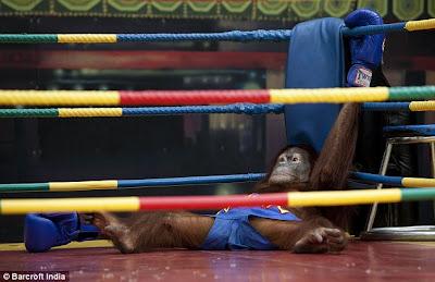 Unbelievable Orangutans Kickboxing