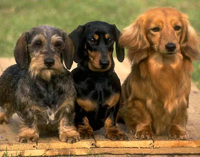 long haired dachshund photos. long haired dachshund dapple.