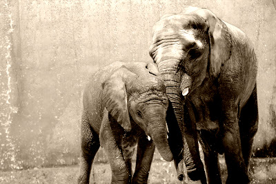 Elephants in the bath - Tenderness between mother and son