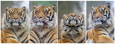 Wildlife Photo| Animal Picture - Panel of portrait photos of a great feline - TIGER