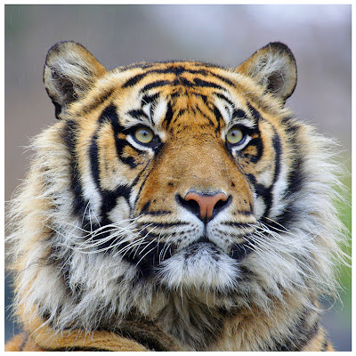 Wildlife Photo| Animal Picture - Portrait of a closeup of a big cat  Tiger