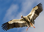 Animais Fotos - White Stork with arms with open- An approach to the nest - Fotos de animais selvagens