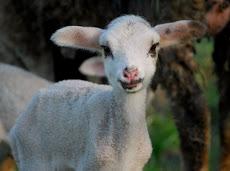 La cria de oveja.