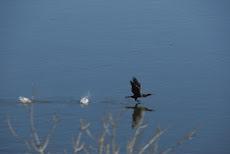 El cormoran