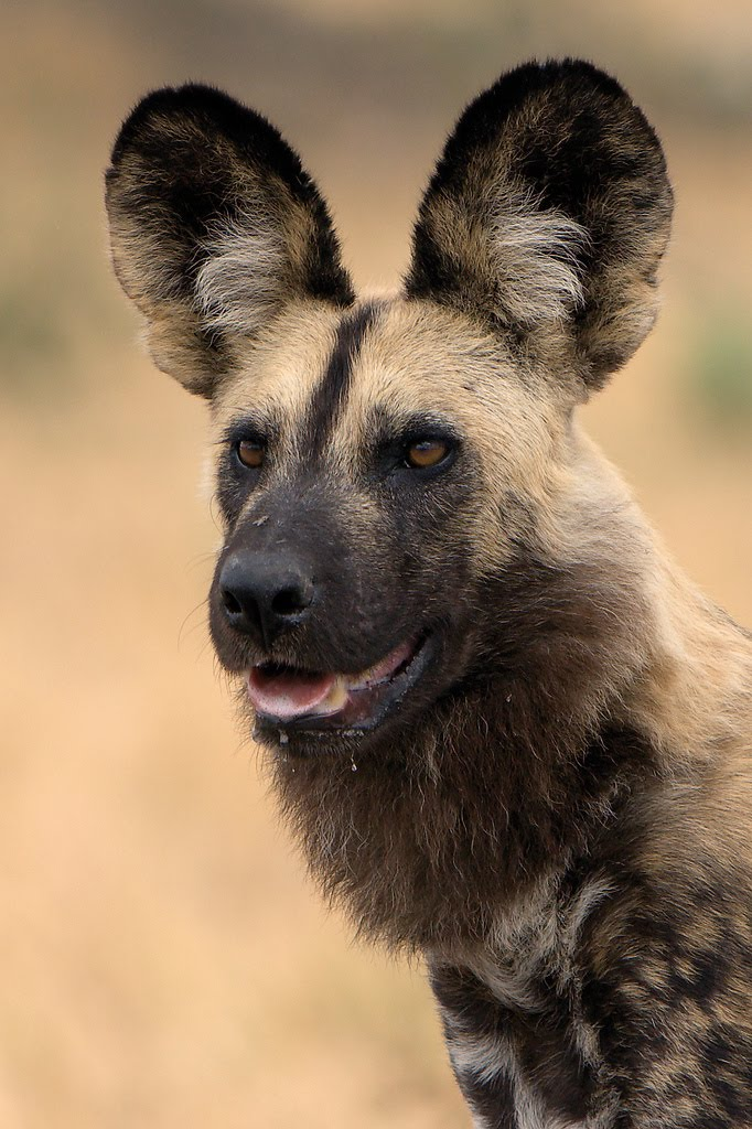 Dogs That Look Like Other Animals African Wild Dog