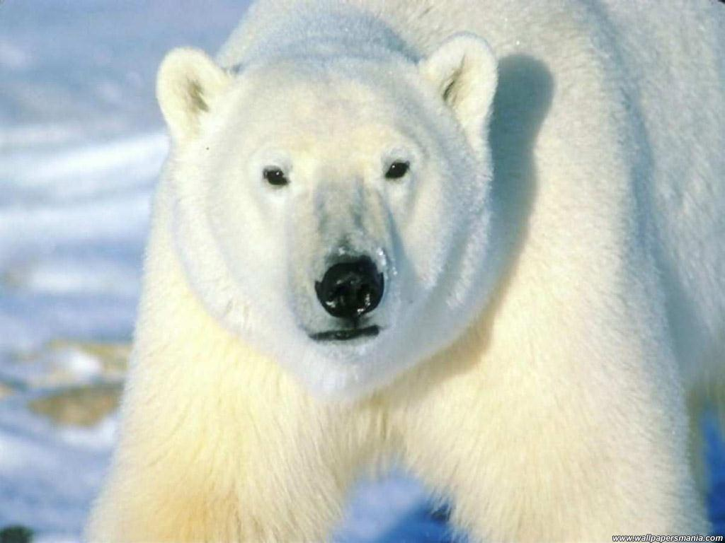 Ice Hell, llegando a al tumba helada Fondo-oso-polar