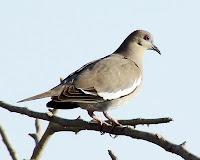 Paloma de alas blancas