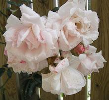 De allra sista rosorna...