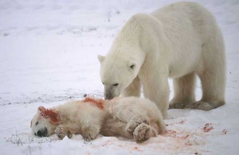 dying baby polar bear and his parent crying