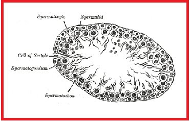 Spermatogenesis english berita biologi spermatocytogenesis is the male form of gametocytogenesis and results in the formation of spermatocytes possessing half the normal complement of genetic ccuart Choice Image