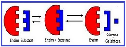 ... terurai, dapat diketahui pasangan jenis enzim dan substrat adalah