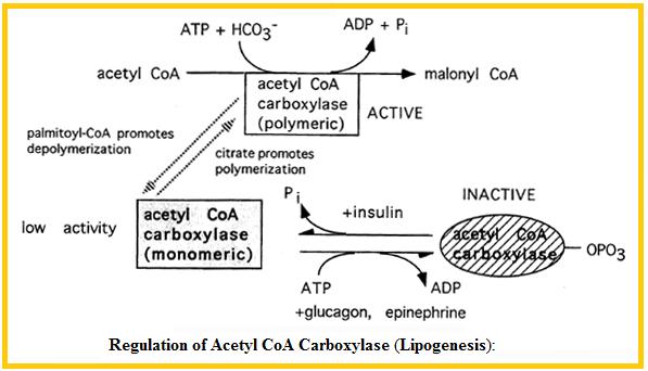 Metabolisme lemak dan protein shanty bio produksi asetil koa dan nadph ccuart Images