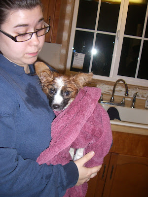 Diego right after his bath. He's wrapped in a burgundy towel with his big wet ears sticking up. He has brown ears and around his eyes. Black around his muzzle and a white stripe between eyes to the tip of his nose
