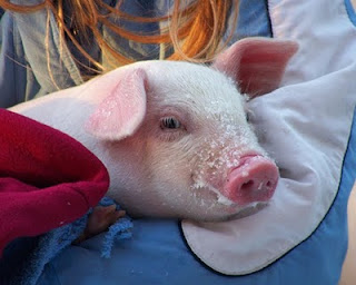 This little piggy is very cute