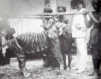 Panthera tigris balica, Bali Tiger