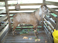 kambing untuk di jual