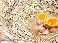 los polluelos de mirlo abriendo sus picos