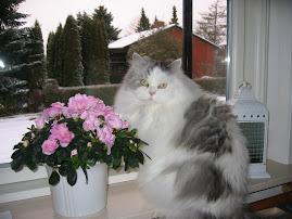 Ringes smukkeste kat
