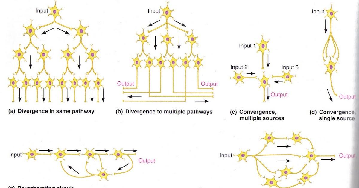 Pirates & Revolutionaries: Synaptic Circuits in Marieb & Hoehn ...