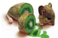 rata kiwi