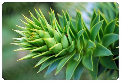 Brödgran - Araucaria araucana