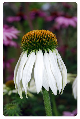 Echinacea purpurea 'Alba'