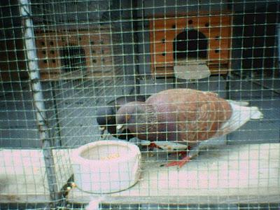 diet atau makanan utama bagi burung burung merpati adal