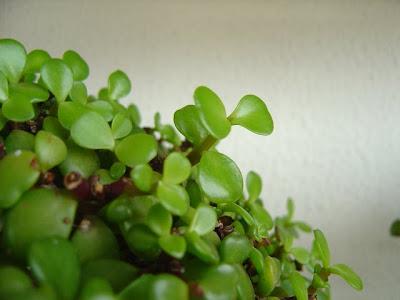 Alisios bons i los otros bonsais iii la hierba elefante - Como cultivar bonsais ...