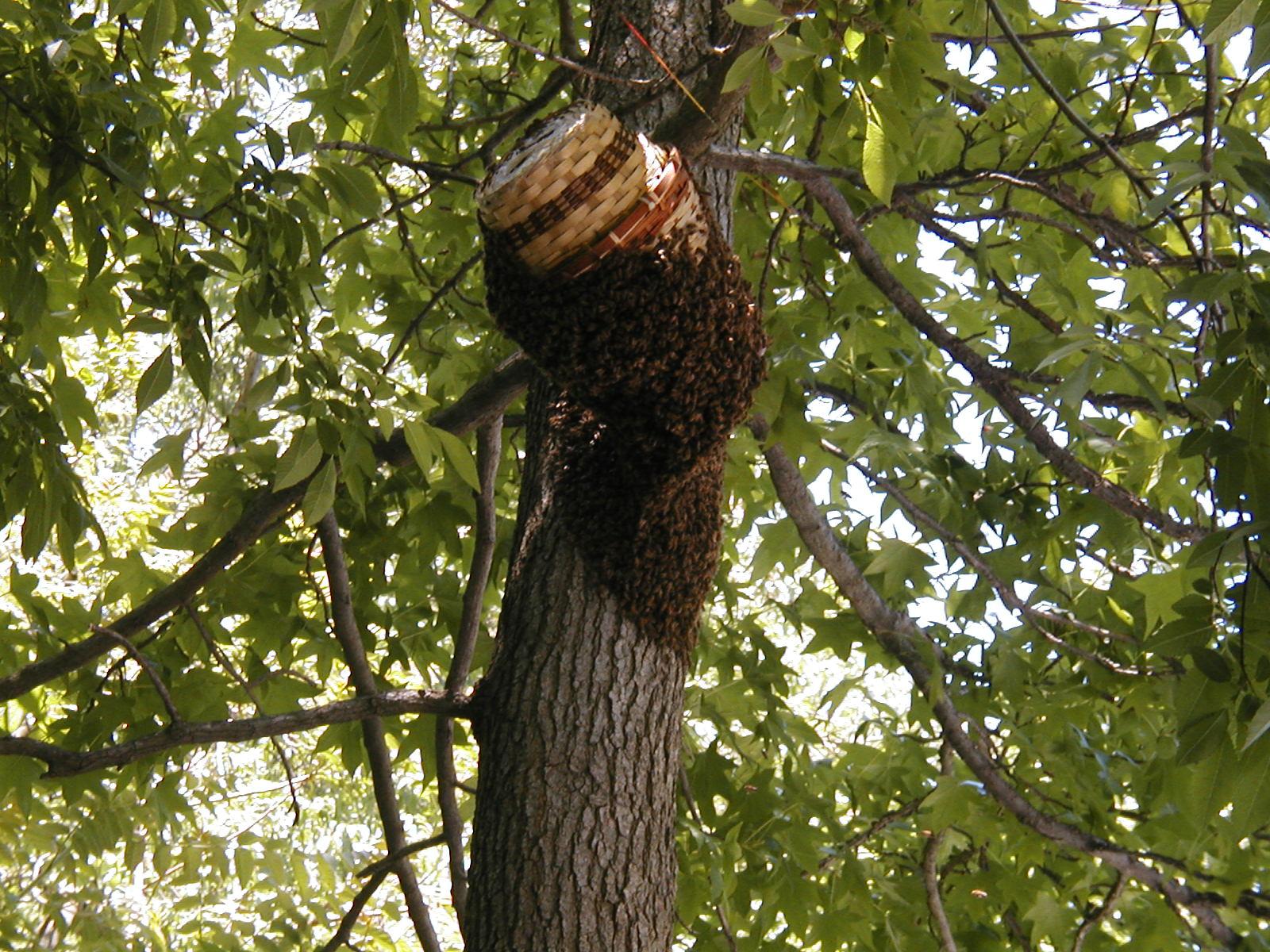Пчелы ловим рои
