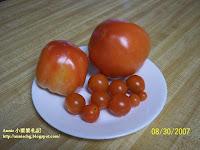 2007年六松居小菜圃收成的蕃茄