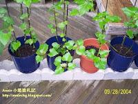 小婆菜圃 - 2004 蕃薯葉