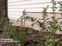 小婆菜園 - 枸杞 2007