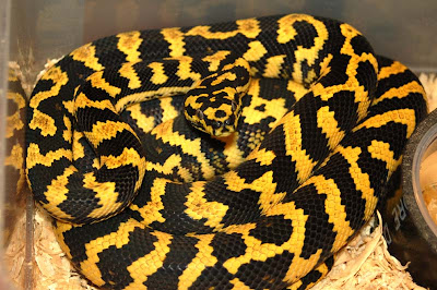 Snakes and More Snakes: Photos of Jungle Carpet Pythons