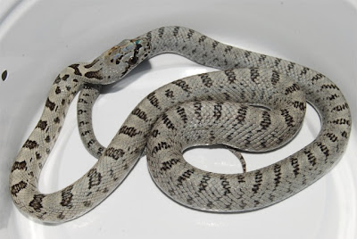 Snakes and More Snakes: Juvenile Baird's Rat Snake Phot