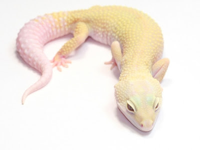 Leopard Gecko ~ Available