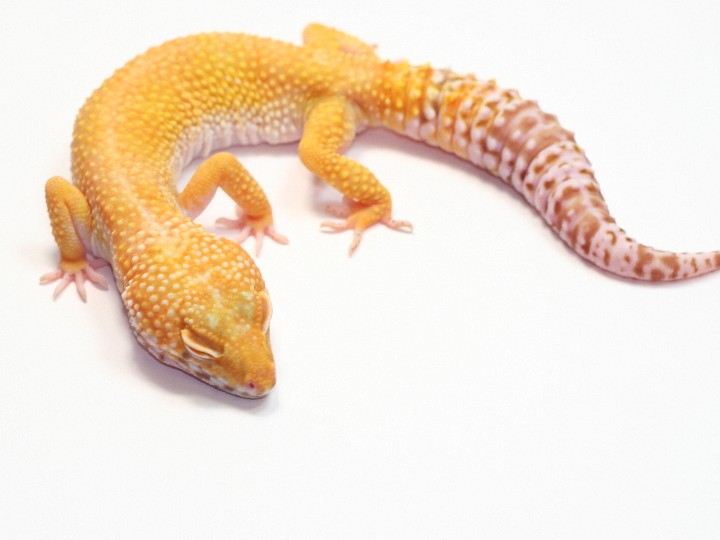 The gallery for --> Hypo Tangerine Leopard Gecko