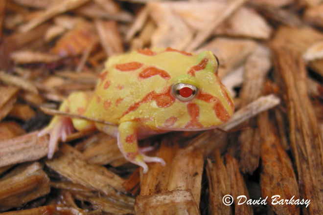 Pacman frog baby