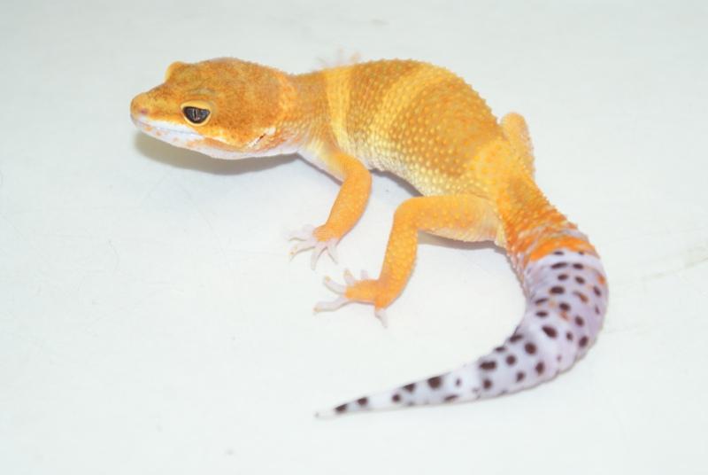 Baby Tangerine Leopard...