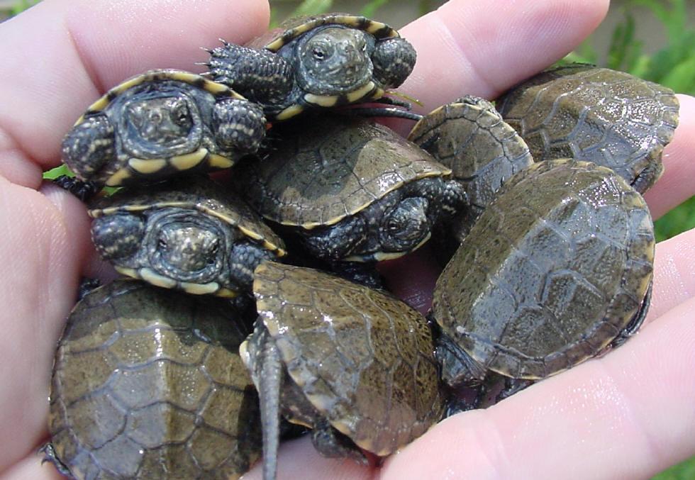 Baby Musk Turtle Food Musk Turtle Download Baby Pond Turtles