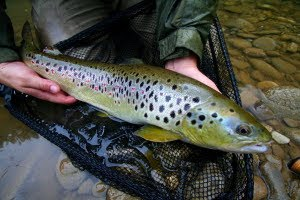 Kupa river Brown Trout