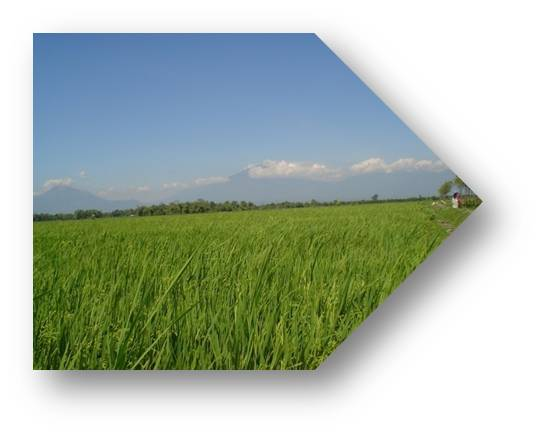 weedy paddy California's 2,500 rice growers should closely examine questionable weeds in  fields this year to help identify and prevent the spread of weedy.