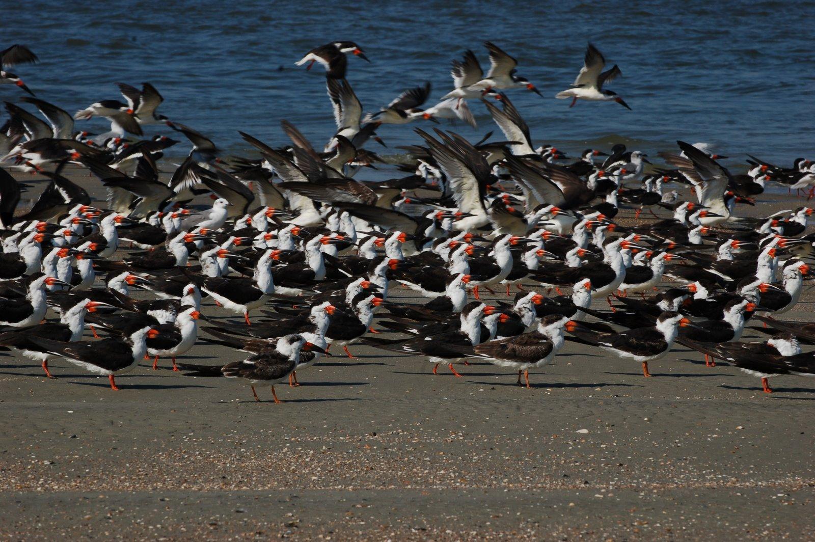 black skimmers, tybee island