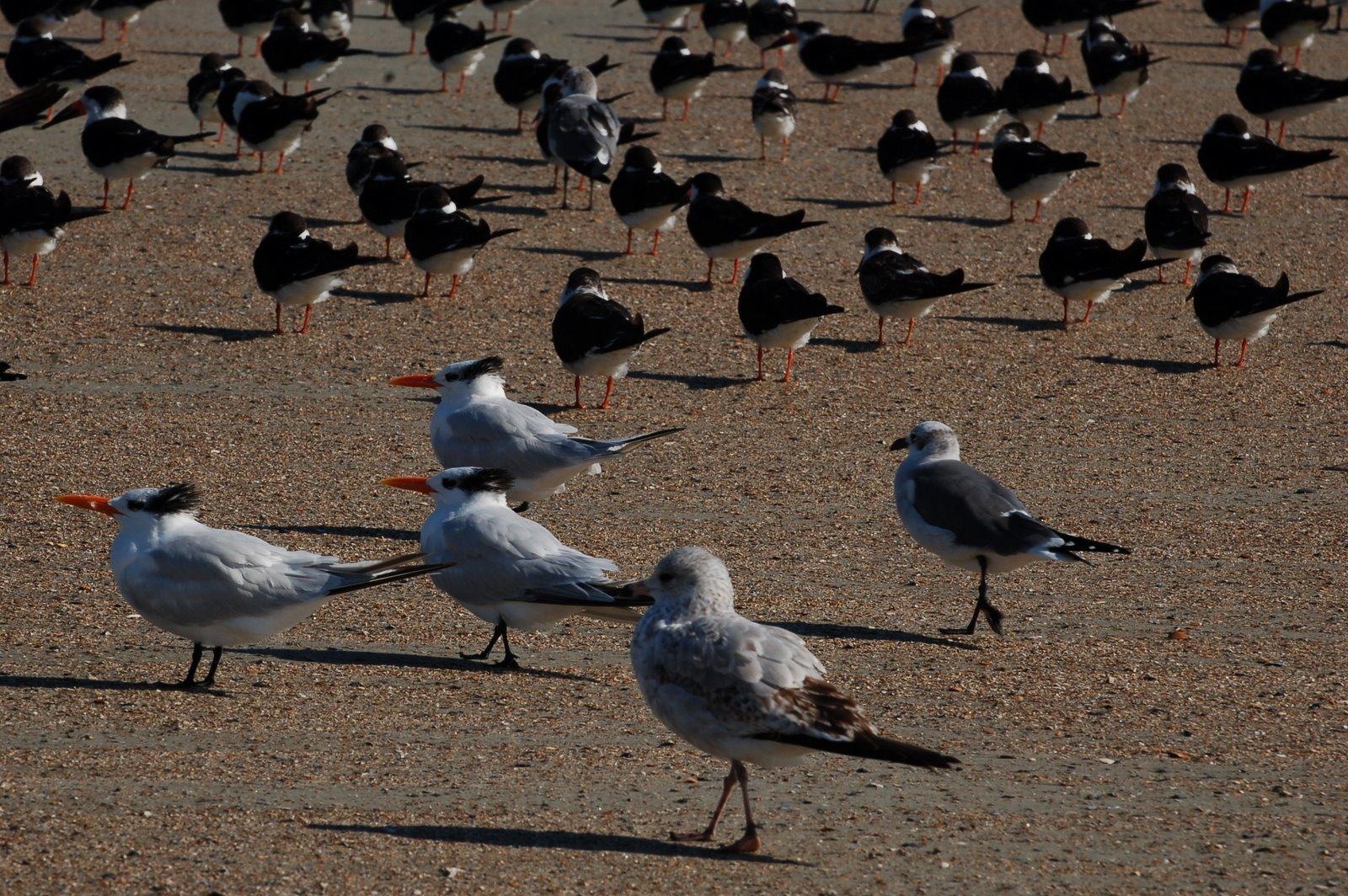 coastal birds, tybee island, georgia