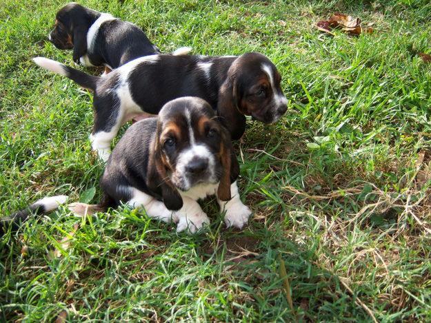 of dog, breeds of dog, list of dog breeds, pictures of dog breeds ...