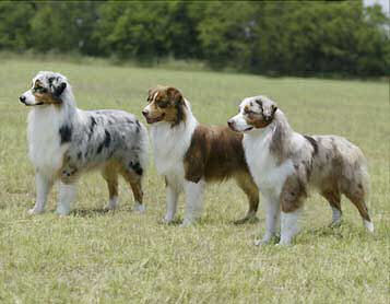 the australian shepherd is a working sheep and farm dog