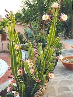 Pin bonsai ciliegio giardino e fai da te in vendita a - Ciliegio da giardino ...